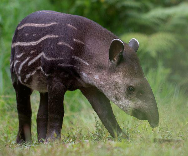 South-American-Tapir