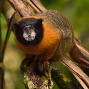 The-Golden-Mantled-Tamarin-Monkey