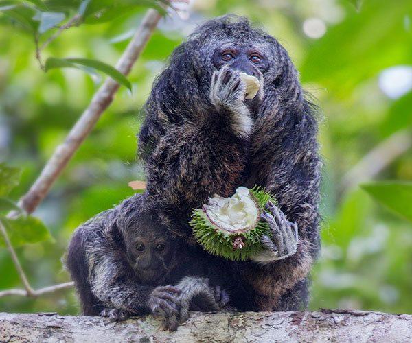 The-Saki-Monkey