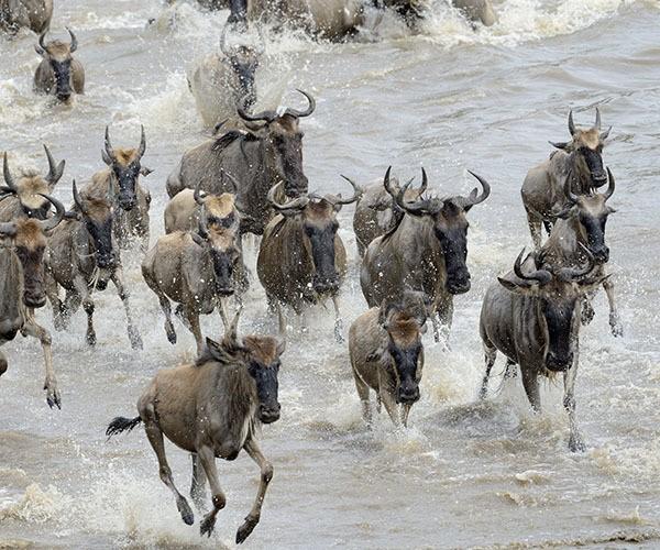 Wildebeest migration river crossing in Tanzania