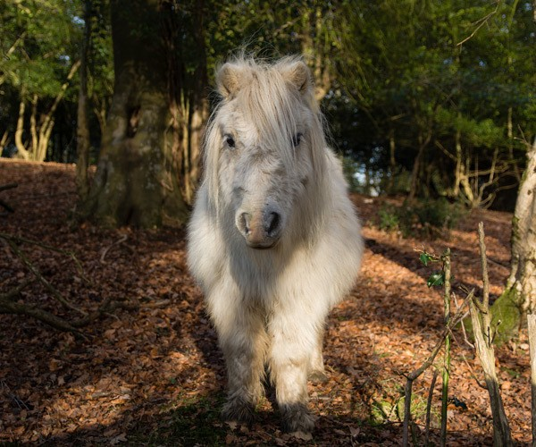 white pony in new forest england