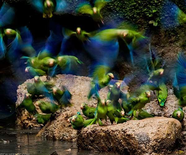 Parrot-clay-licks