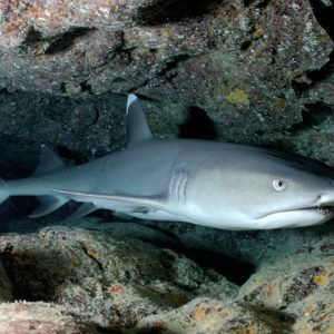 Who's afraid of sharks?Galapagos shark encounters you won't forget