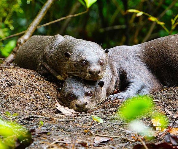 giant-river-otter