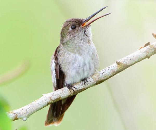 Olive-spotted-Hummingbird