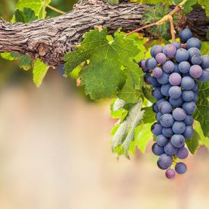 Vineyard escapes in Africa