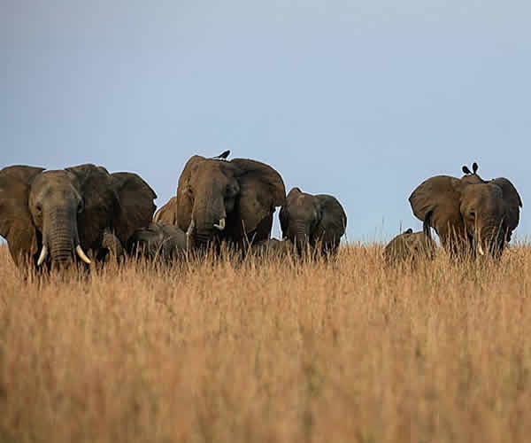 elephants in Kidepo national park