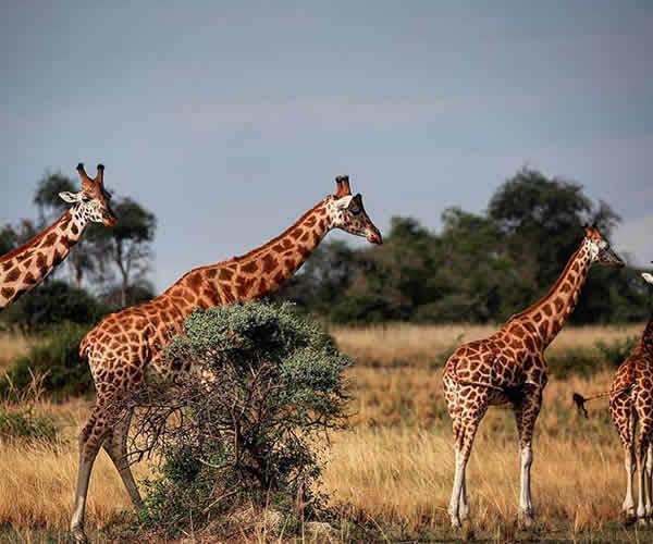 giraffe in Murchison falls national park