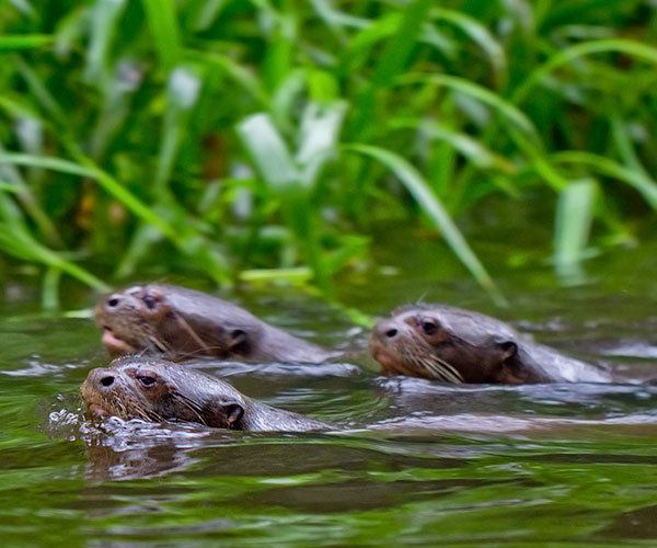 Giant-Otters-family-group