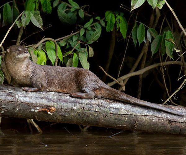 Pteronura-brasiliensis