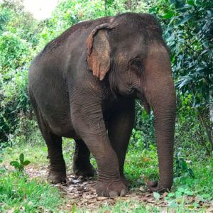 Ethical elephant tourism in Cambodia