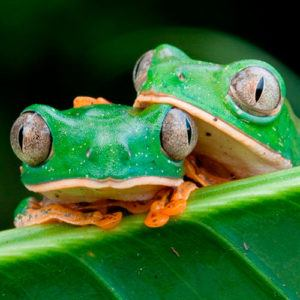 couple-of-amazonian-frogs