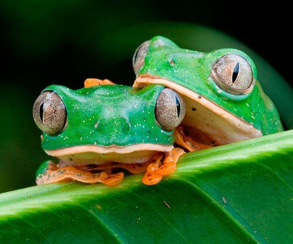 couple-of-amazonian-frogs