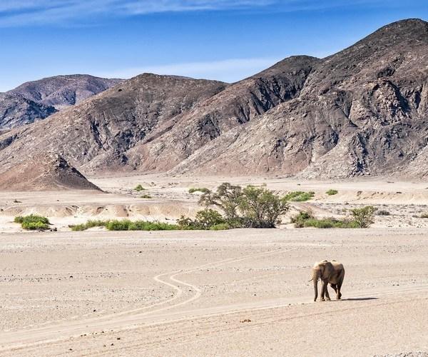 Desert elephants at the dried up Hoanib river