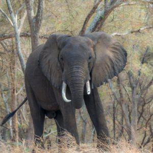 Lower Zambezi Elephant