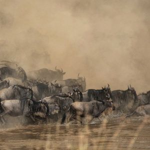 Photograph of the week: Wildebeest migration river crossing in the Masai Mara
