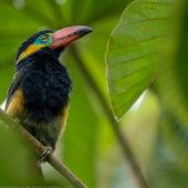 amazon-birding-tours