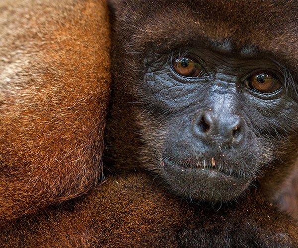 ecuadorian-amazon-monkey