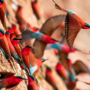 Carmine Bee-Eaters, South Luangwa, Time+Tide
