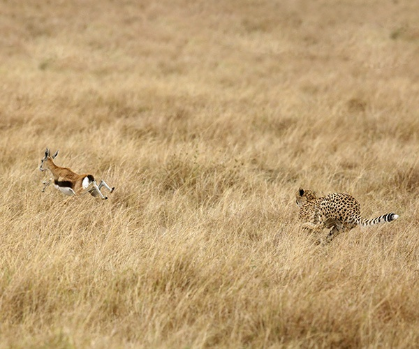 Cheetah chasing down Thompson's Gazelle