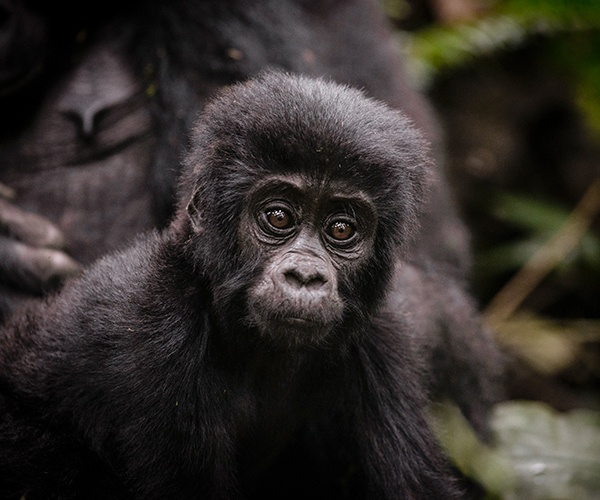 Young gorilla on trek from Gorilla Forest Camp