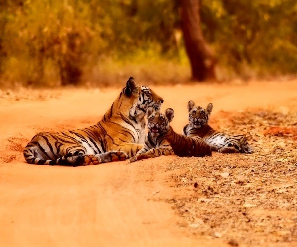 Wild Tigers in India