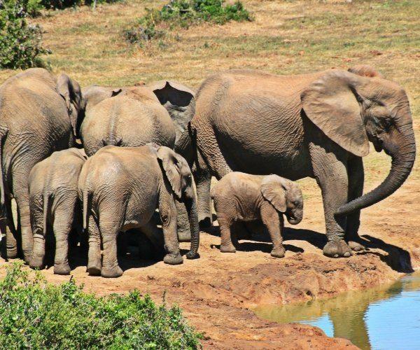 Elephant-Kruger Park