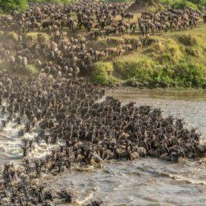 Wildebesst crossing the Mara River, Tanzania