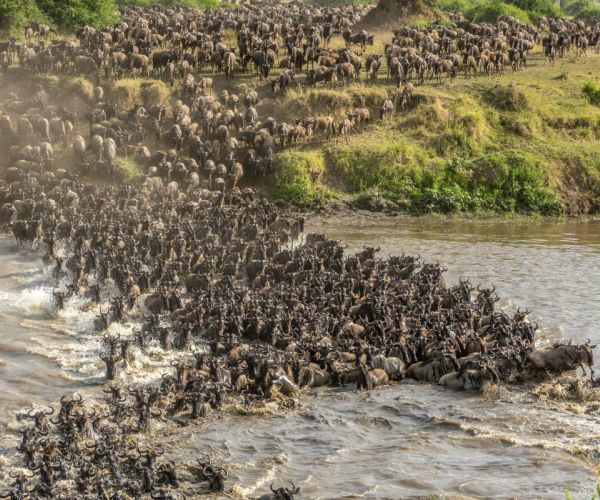Wildebesst crossing the Mara River, Tanzania
