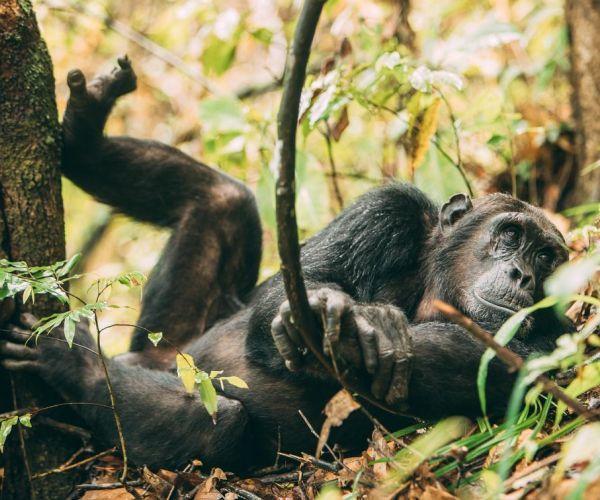 Track the chimps at Greystoke Mahale
