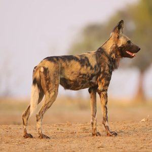 The best places to see wild dogs in Southern Africa