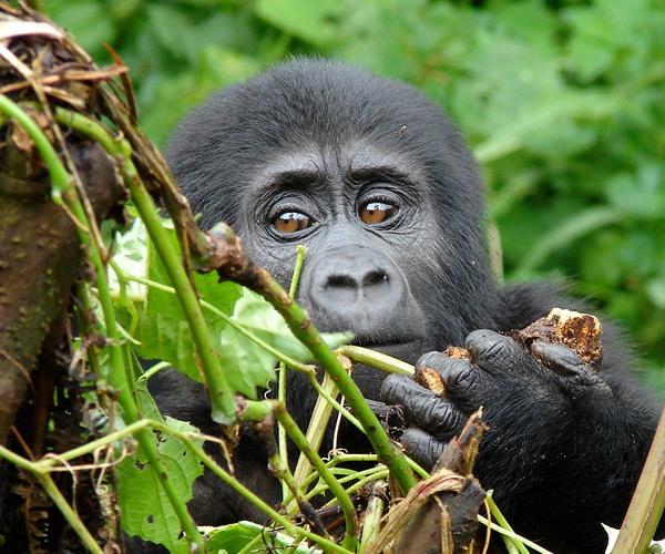 baby-mountain-gorilla-behind-leaves-clouds-mountain-gorilla-lodge-uganda