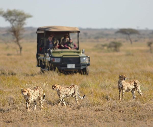 cheetah-game-drive-namiri-plains-serengeti