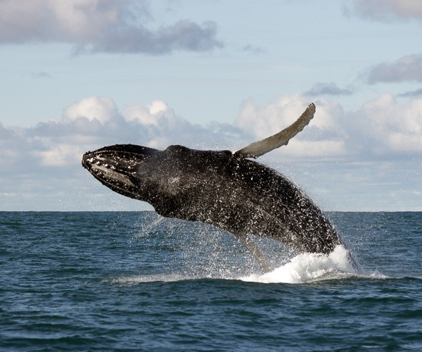 A humpback whale breaching during a whale watching tour in Iceland