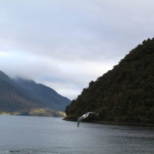 A bird flying through Doubtful Sound
