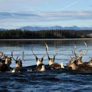 Where caribou outnumber people
