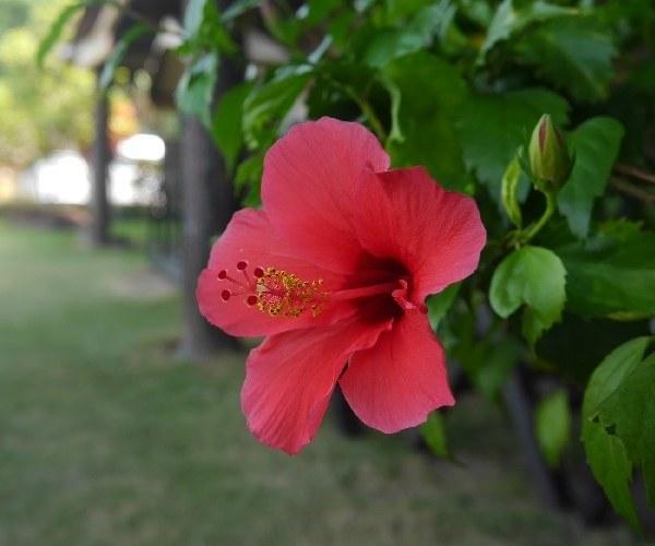 bintan flower