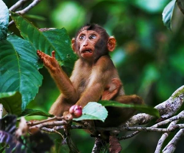 monkey-Borneo