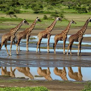 Photograph of the week: Social distancing in the giraffe world