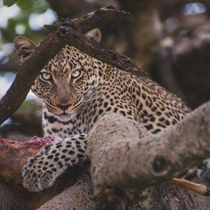 Photograph of the week: Leopard in the Serengeti
