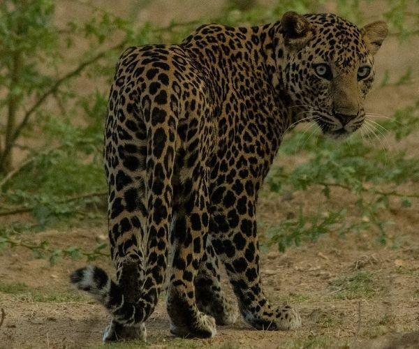Jawai Leopard Safari