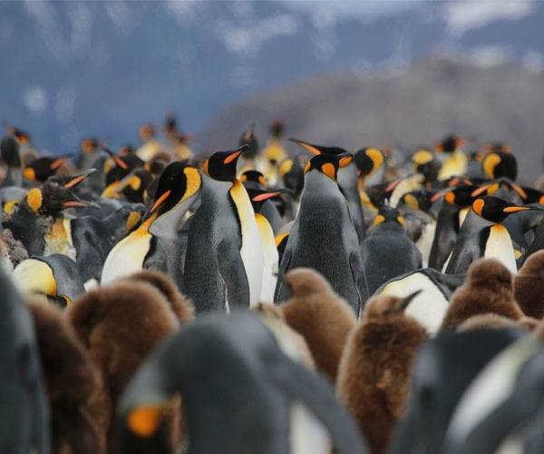 More penguins travelling Untamed Antarctica