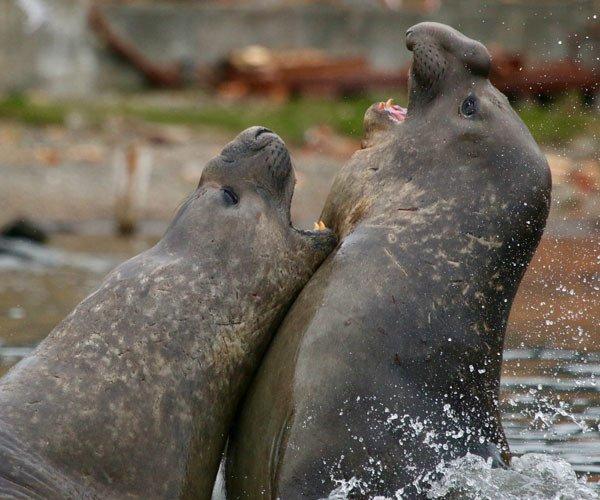 Fighting sea lions Antarctica