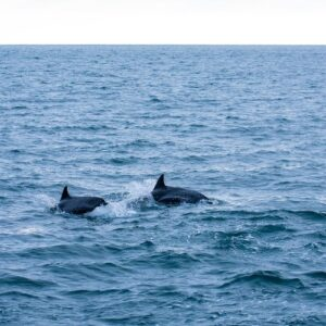 Bucket-list dolphin spotting across the Great British Isles