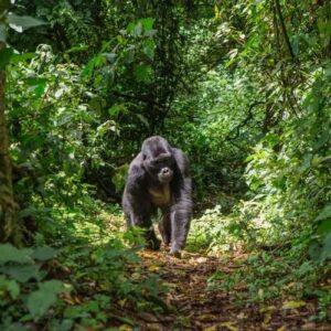 Gorilla trekking: Uganda versus Rwanda