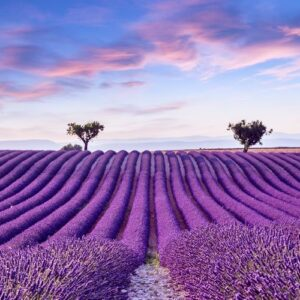 Provence in Bloom