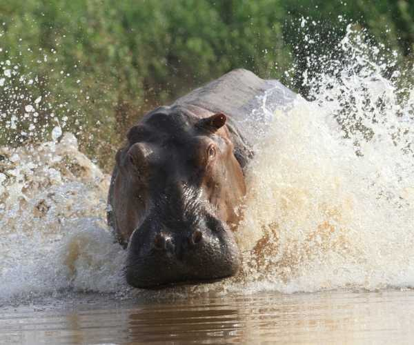 Hippo in the Selous Game Reserve, Tanzania