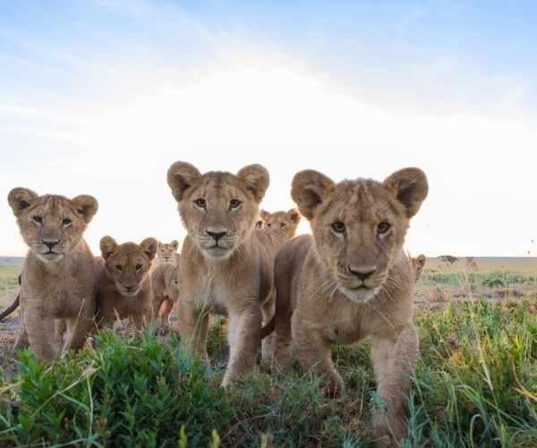 Tanzania Safari - Lion Cubs