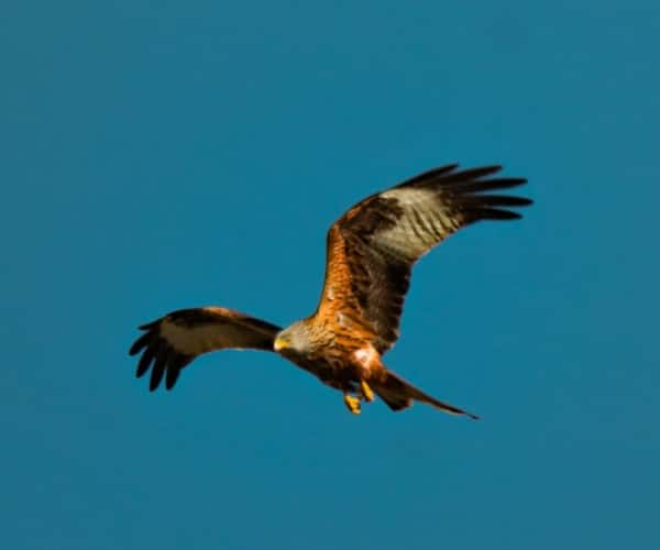 Visit the Red Kite Feeding Station in the Brecon Beacons