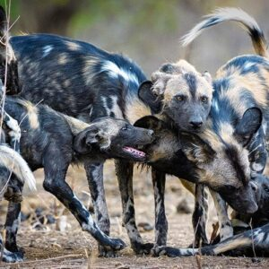 Best safari camps to see wild dogs